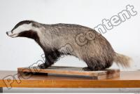 Badger body photo reference 0002