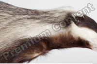 Badger head photo reference 0001