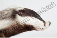 Badger head photo reference 0003
