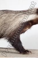 Badger body photo reference 0001