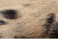 Pig fur photo reference 0001
