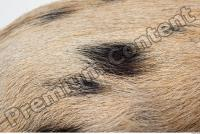 Pig fur photo reference 0002
