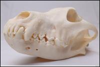 Skull Wolf # 3
