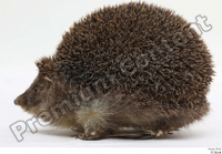 Hedgehog - Erinaceus europaeus  3 whole body 0001.jpg