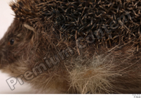 Hedgehog - Erinaceus europaeus  3 body whole body 0001.jpg