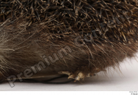 Hedgehog - Erinaceus europaeus  3 body leg whole body 0002.jpg