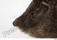 Hedgehog - Erinaceus europaeus  3 eye mouth 0001.jpg