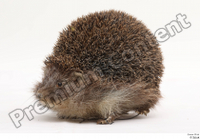 Hedgehog - Erinaceus europaeus  3 whole body 0002.jpg