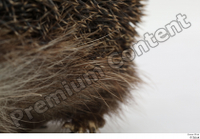 Hedgehog - Erinaceus europaeus  3 body leg whole body 0004.jpg