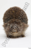 Hedgehog - Erinaceus europaeus  3 whole body 0003.jpg