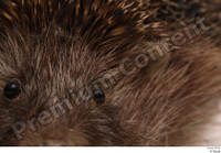 Hedgehog - Erinaceus europaeus  3 ear eye 0001.jpg