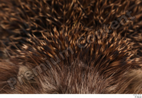 Hedgehog - Erinaceus europaeus  3 body whole body 0002.jpg