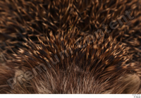 Hedgehog - Erinaceus europaeus  3 body whole body 0003.jpg