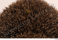 Hedgehog - Erinaceus europaeus  3 body thistle whole body 0003.jpg