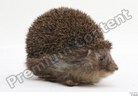 Hedgehog - Erinaceus europaeus  3 whole body 0004.jpg