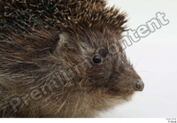 Hedgehog - Erinaceus europaeus  3 eye mouth 0004.jpg