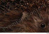 Hedgehog - Erinaceus europaeus  3 ear eye 0002.jpg