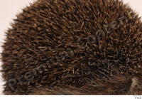 Hedgehog - Erinaceus europaeus  3 body thistle whole body 0004.jpg