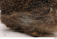 Hedgehog - Erinaceus europaeus  3 body leg whole body 0005.jpg