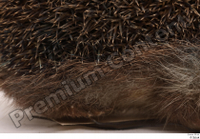 Hedgehog - Erinaceus europaeus  3 body whole body 0004.jpg