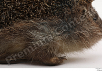 Hedgehog - Erinaceus europaeus  3 body leg whole body 0006.jpg