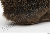 Hedgehog - Erinaceus europaeus  3 body whole body 0005.jpg