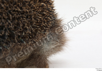 Hedgehog - Erinaceus europaeus  3 body leg whole body 0007.jpg