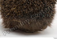 Hedgehog - Erinaceus europaeus  3 body whole body 0006.jpg