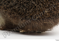 Hedgehog - Erinaceus europaeus  3 body leg whole body 0008.jpg