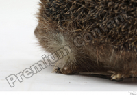 Hedgehog - Erinaceus europaeus  3 body leg whole body 0009.jpg