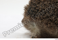 Hedgehog - Erinaceus europaeus  3 body leg whole body 0010.jpg