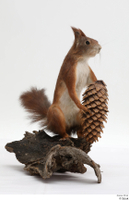 Squirrel  2 pine cone whole body 0002.jpg