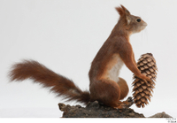 Squirrel  2 pine cone whole body 0003.jpg