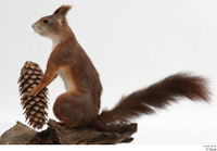 Squirrel  2 pine cone whole body 0004.jpg