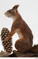 Squirrel  2 pine cone whole body 0005.jpg