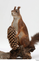 Squirrel  2 pine cone whole body 0006.jpg