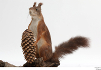 Squirrel  2 pine cone whole body 0007.jpg