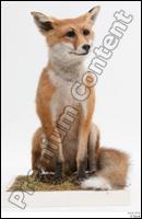 Fox # 2