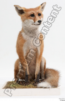 Fox  2 whole body 0001.jpg