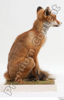 Fox  2 whole body 0004.jpg