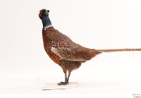 Pheasant  2 whole body 0001.jpg