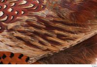Pheasant  2 back wing 0001.jpg