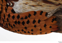 Pheasant  2 back wing 0002.jpg