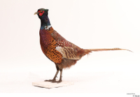 Pheasant  2 whole body 0003.jpg