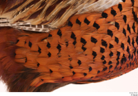 Pheasant  2 chest wing 0001.jpg