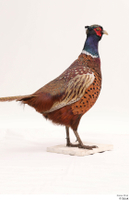Pheasant  2 whole body 0007.jpg