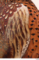 Pheasant  2 chest wing 0003.jpg