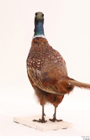 Pheasant  2 whole body 0010.jpg