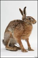 Hare # 1