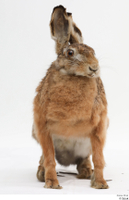 Hare  1 whole body 0001.jpg